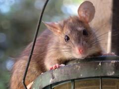 Auf dem Bild ist eine Ratte zu sehen.